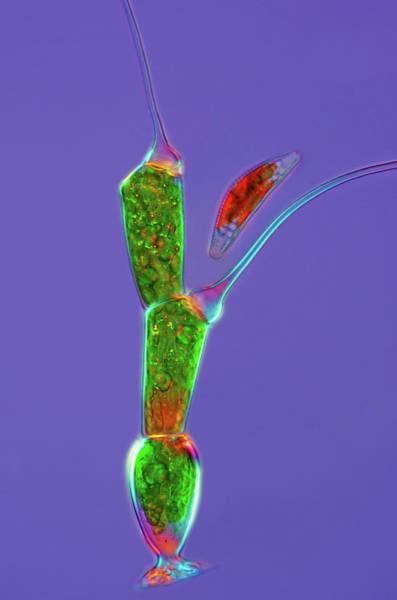 Filamentous Algae Photograph - Green Alga And Diatom by Marek Mis/science Photo Library