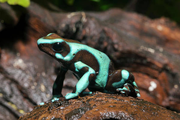 Poison Dart Frog Photograph - Green And Black Poison Dart Frog by Louise Murray
