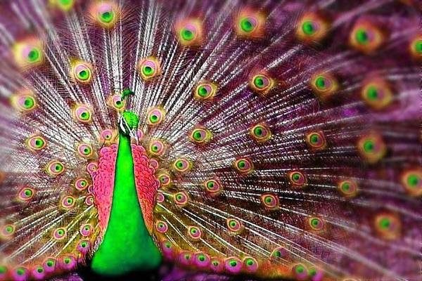Wall Art - Digital Art - Green And Pink Peacock by Diana Shively