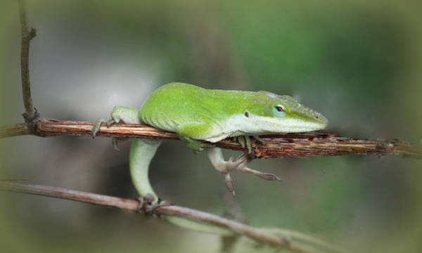 Photograph - Green Anole Lizard by Kathy Peltomaa Lewis