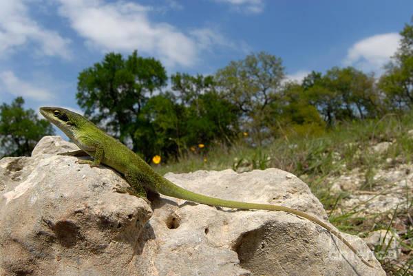 Green Anole Photograph - Green Anole Lizard by Francesco Tomasinelli