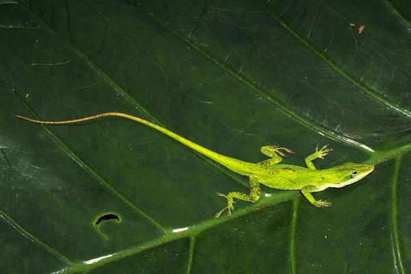 Green Anole Photograph - Green Anole Lizard by Millard H. Sharp