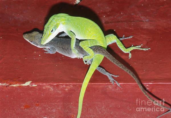 Green Anole Photograph - Green Anole Lizards Mating by Millard H. Sharp