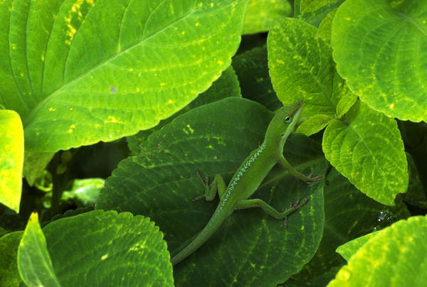 Green Anole Photograph - Green Anole Matching Leaf Color by Nature's Images