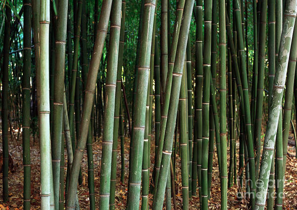 Photograph - Green Bamboo by John Rizzuto