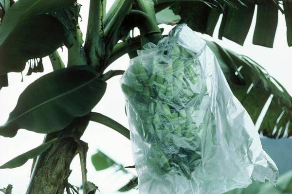 Monocotyledon Photograph - Green Bananas Covered With Plastic Bag by Andrew Mcclenaghan/science Photo Library.