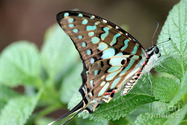 Wall Art - Photograph - Green-blue Swallowtail Butterfly 3 by Eric Irion