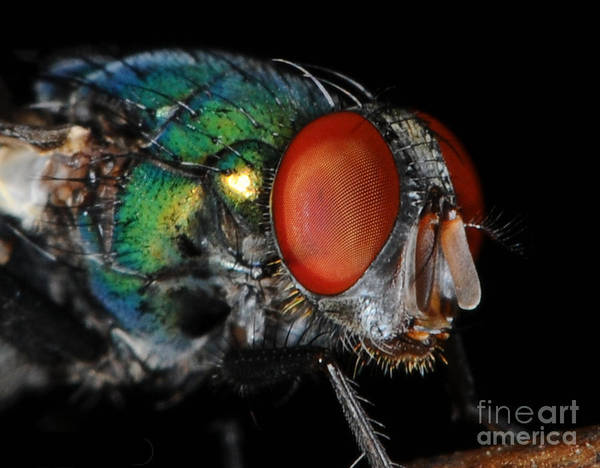 Ugly Photograph - Green Bottle Fly by Paul Ward