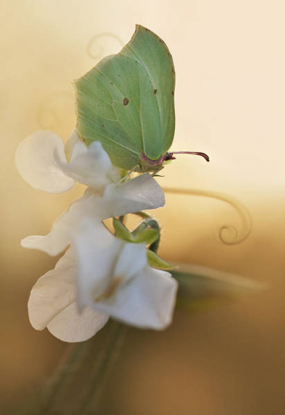 Photograph - Green Butterfly On The White Sweet Pea by Jaroslaw Blaminsky