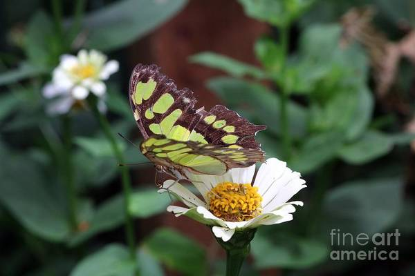 Photograph - Green Butterfly On White by Jeremy Hayden