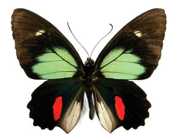 Wall Art - Photograph - Green-celled Cattleheart Butterfly by Pascal Goetgheluck/science Photo Library