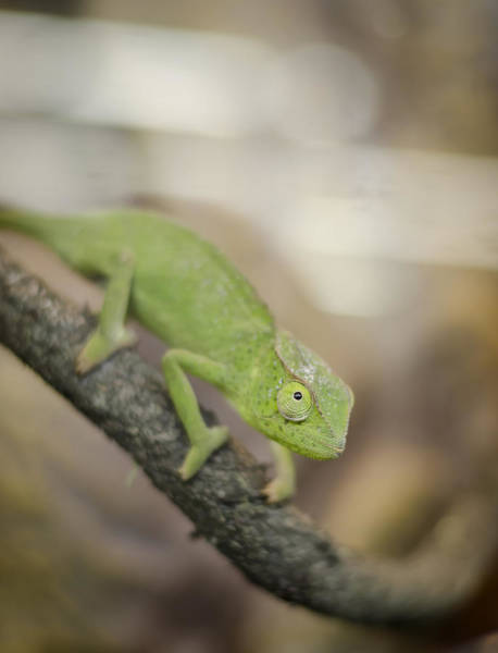Photograph - Green Chameleon by Heather Applegate