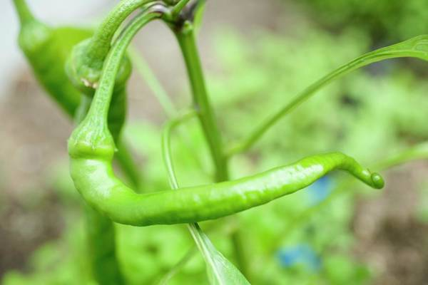 Vegies Photograph - Green Chilli On The Plant by Foodcollection