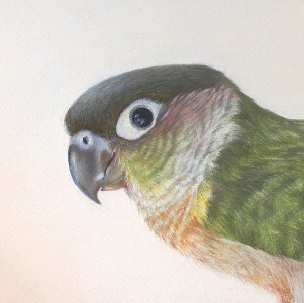 Green Parrot Drawing - Green Conure by Natasha Denger