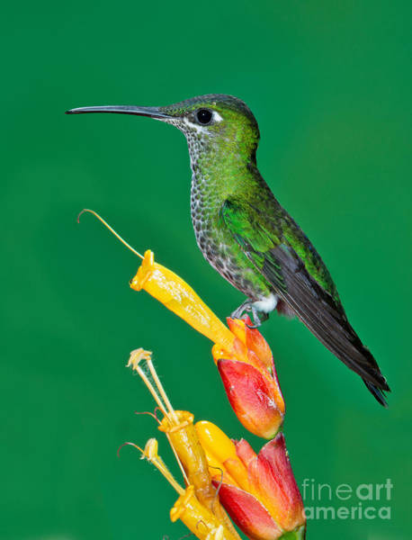 Photograph - Green-crowned Brilliant by Anthony Mercieca