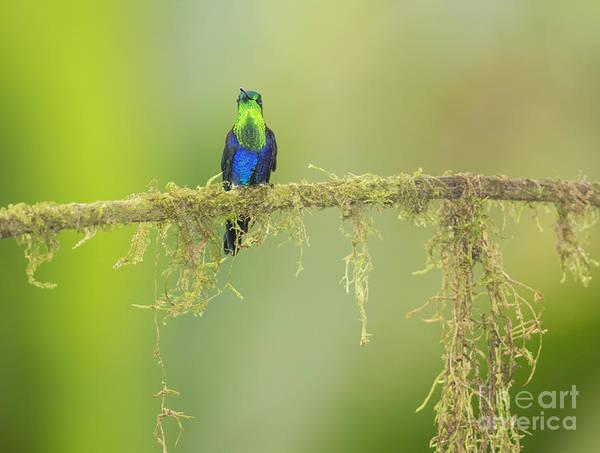 Photograph - Green-crowned Woodnymph Hummingbird by Dan Suzio