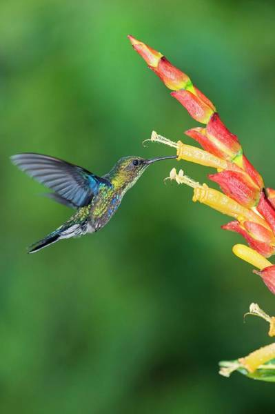 Wall Art - Photograph - Green-crowned Woodnymph Hummingbird by Tony Camacho/science Photo Library