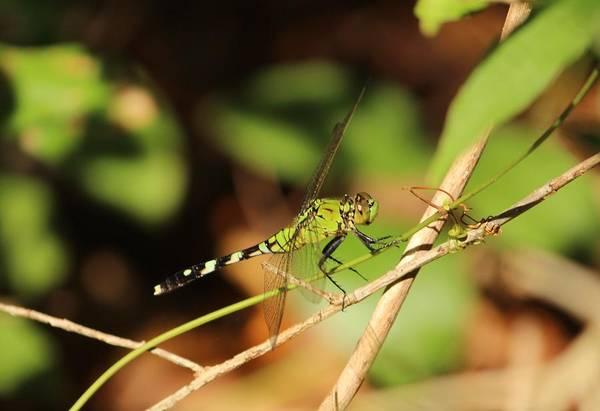 Photograph - Green Dragonfly by Cynthia Guinn