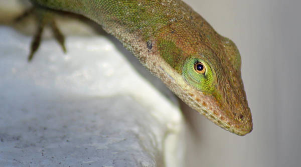 Brown Anole Wall Art - Photograph - Green Eye by Christy Cox