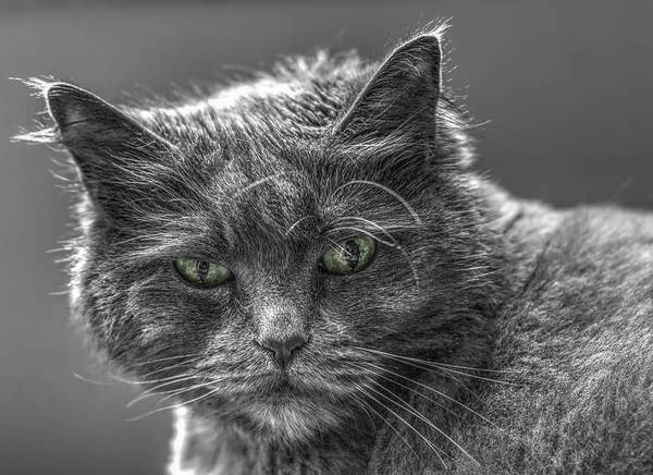 Photograph - Green Eyed Cat - Black And White by Joann Vitali