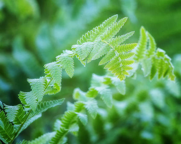 Photograph - Green Fern by Bill Wakeley