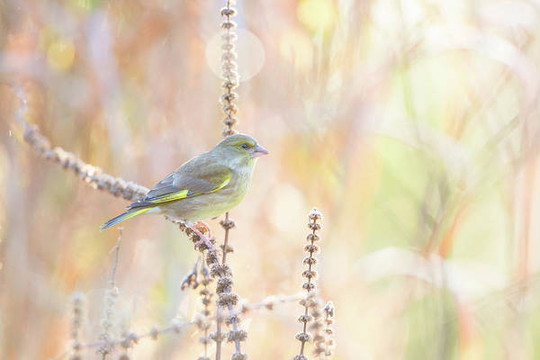 Pastel Photograph - Green Finch by Erik Willaert