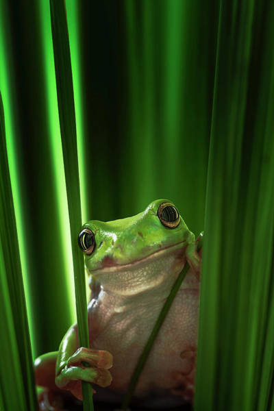 Green Grass Photograph - Green Frog by Ahmad Gafuri