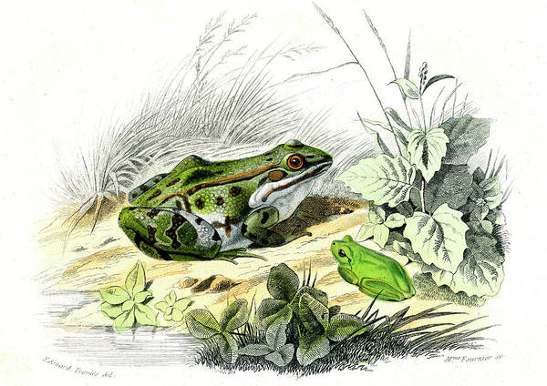 Hyla Wall Art - Photograph - Green Frog And Tree Frog by Collection Abecasis/science Photo Library