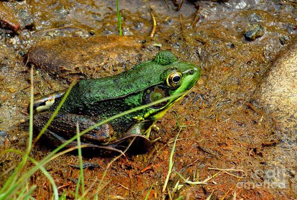 Bolton Landing Wall Art - Photograph - Green Frog by Tanya Hamell