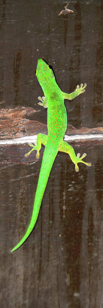 Wall Art - Photograph - Green Gecko Phelsuma Astriata On Wall by Animal Images