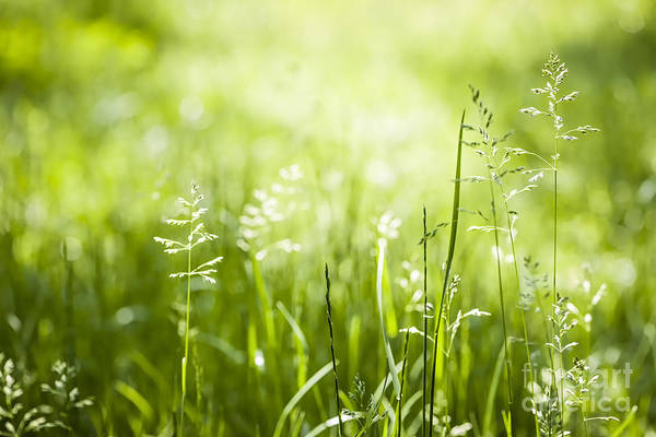 Photograph - Green Grass Flowering by Elena Elisseeva