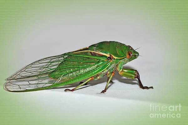 Cicada Wall Art - Photograph - Green Grocer Cicada by Kaye Menner
