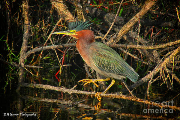 Photograph - Green Heron Basking In Sunlight by Barbara Bowen