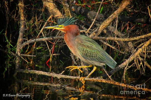 Green Heron Basking In Sunlight Art Print