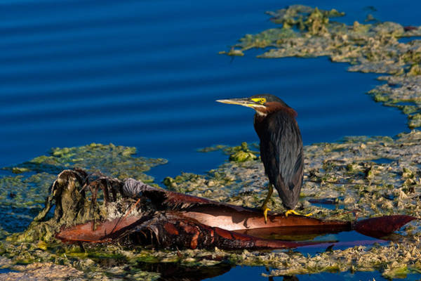 Photograph - Green Heron by Ed Gleichman