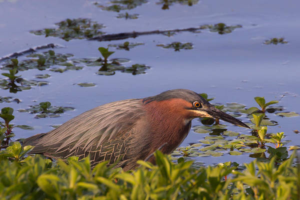 Wing Back Photograph - Green Heron Fishing Along Clearlake In Northern California by Kathleen Bishop