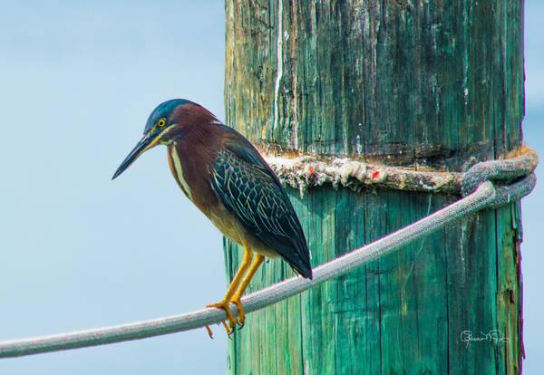 Photograph - Green Heron IIi by Susan Molnar