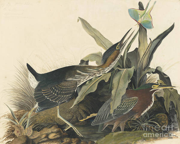 Drawing - Green Heron by Celestial Images