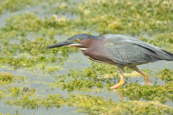 Green Heron On The Hunt Art Print