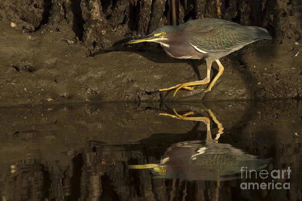 Photograph - Green Heron Photo by Meg Rousher