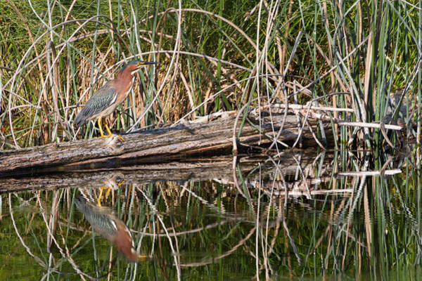 Wing Back Photograph - Green Heron Reflections by Kathleen Bishop