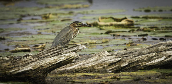 Wall Art - Photograph - Green Heron by Thomas Young
