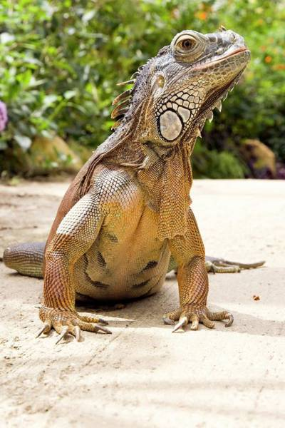 Green Iguana Wall Art - Photograph - Green Iguana Basking In The Sun by Gustoimages/science Photo Library