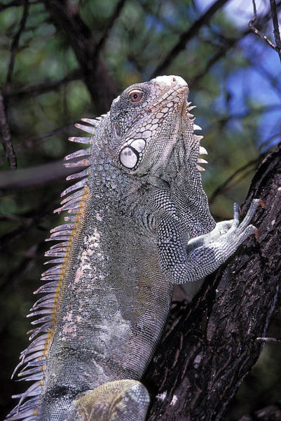 Wall Art - Photograph - Green Iguana by Clay Coleman/science Photo Library