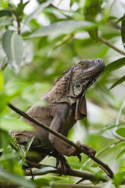 Carrillo Photograph - Green Iguana Costa Rica by Konrad Wothe