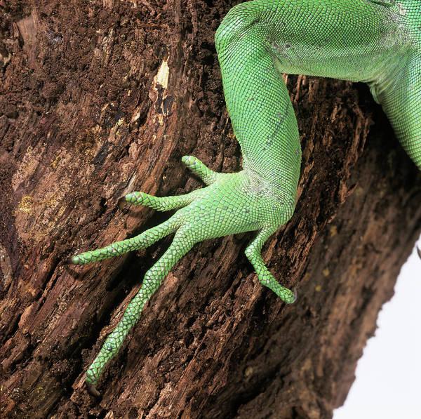 Green Iguana Wall Art - Photograph - Green Iguana Foot by Natural History Museum, London/science Photo Library