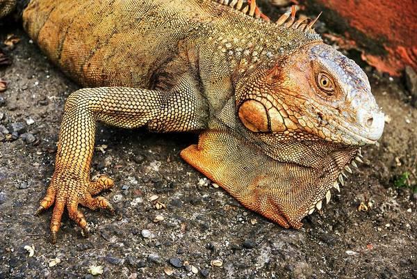 Iguana Photograph - Green Iguana (iguana Iguana) by Photostock-israel