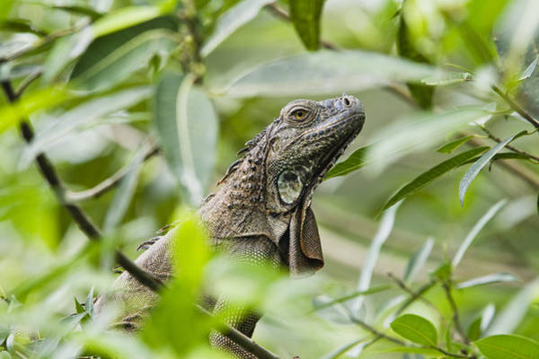 Carrillo Photograph - Green Iguana In Lowland Rainforest by Konrad Wothe