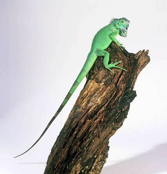 Green Iguana Wall Art - Photograph - Green Iguana by Natural History Museum, London/science Photo Library