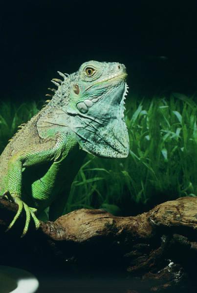 Iguana Photograph - Green Iguana by Sally Mccrae Kuyper/science Photo Library